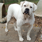 Johnson American Bulldogs - Addison