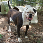 Johnson American Bulldogs - Apache