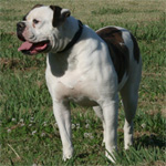 Johnson American Bulldogs - Beulah 2