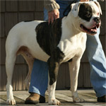 Johnson American Bulldogs - Chopper