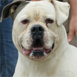Johnson American Bulldogs - Machine Eli