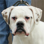 Johnson American Bulldogs - Little Elrod
