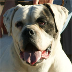 Johnson American Bulldogs - Millie 01