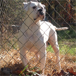 Johnson American Bulldogs - Millie Rose 05