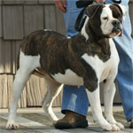 Johnson American Bulldogs - Ms. Bully