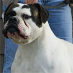 Johnson American Bulldogs - Nemo 2