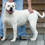 Johnson American Bulldogs - Sugar Tuffie 201