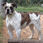 Johnson American Bulldogs - Sugar Tuffie 301