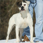 Johnson American Bulldogs - Susie Q