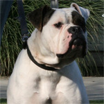 Johnson American Bulldogs - Zecharoo